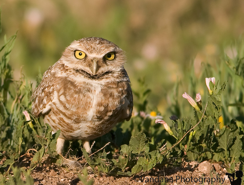 May 18, 2009 - Burrowing owl !!<br /> spotted near Lubbock, Texas.