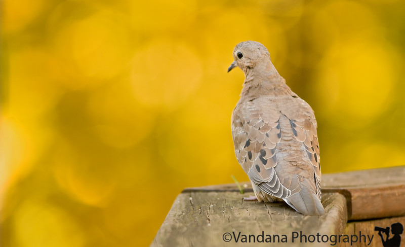 October 20, 2009 - The mourning dove