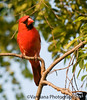 July 22, 2009 - The red cardinal