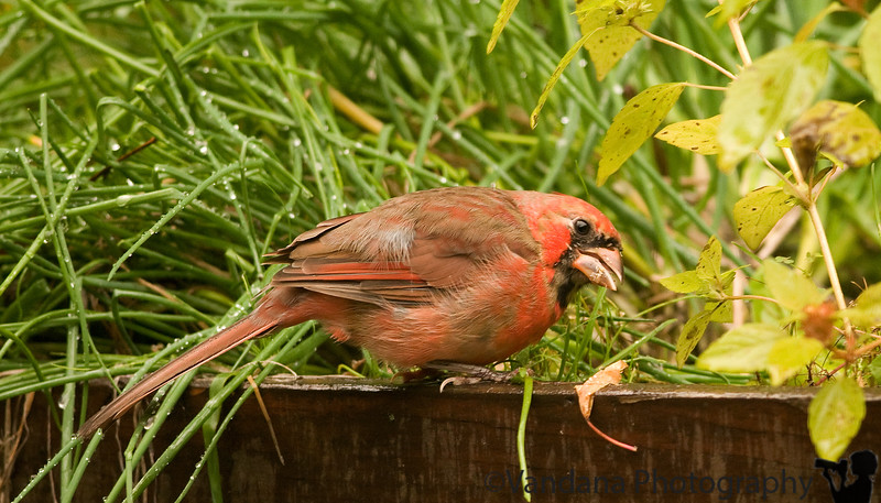 October 9, 2009 - Cardinal on the deck