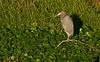 Jan 23, 2009 - Little blue heron amidst the green