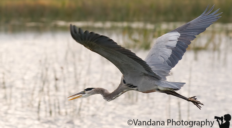 December 26, 2009 - Blue heron in flight, Viera Wetlands, Florida