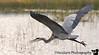December 26, 2009 - Blue heron in flight, Viera Wetlands, Florida