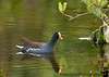 Jan 17, 2009 - Moorhen at Merritt Island NWR