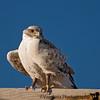 May 11, 2009 - Hawk stare