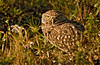 Jan 9, 2009 - Burrowing owl, Cape Coral