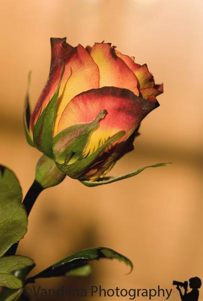 April 26, 2009 - A rose in evening light