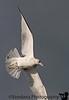Jan 16, 2009 - Gull in flight<br /> <br /> maybe my Jan 09 will be a special bif gallery !