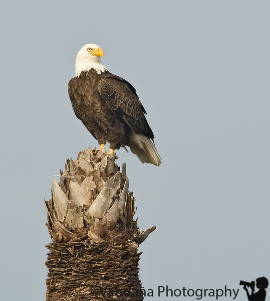 December 27, 2009 - Bald eagle on the palm tree !<br /> @Viera Wetlands, FL