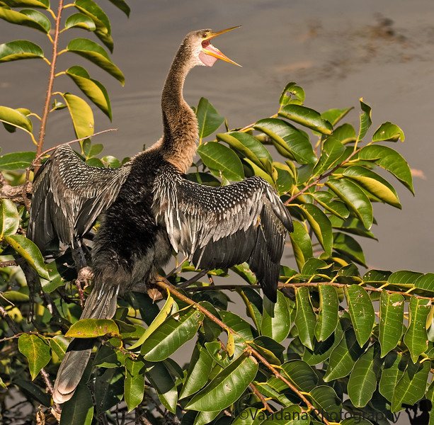 Jan 11, 2009 - Anhinga screams in joy ! <br /> <br /> Back from Florida to 40F, cloudy, windy weather !
