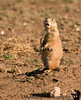 April 21, 2009 - The incredulous prairie dog