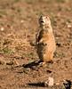 April 21, 2009 - The incredulous prairie dog