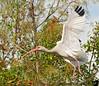 Jan 7, 2009 - Ibis in flight, Everglades National Park, FL