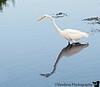 Jan 2, 2009 - The egret finds itself, Merritt Island Wildlife Refuge, Florida
