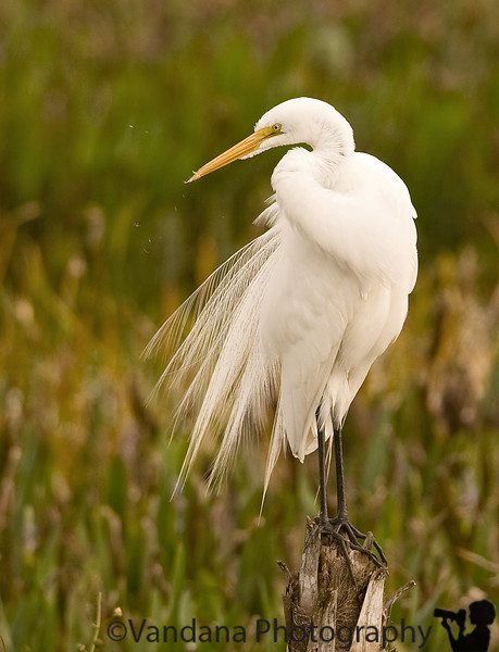 December 28, 2009 - the fluffy little egret