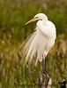 December 28, 2009 - the fluffy little egret