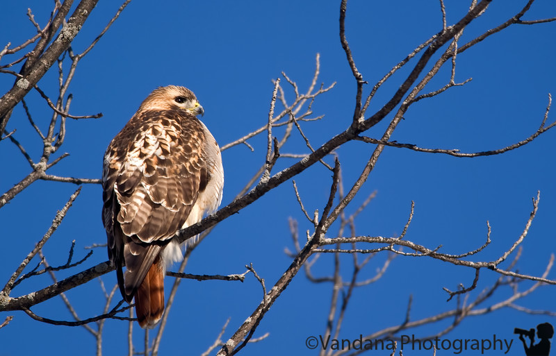 December 15, 2009 - Fattening up for the winter, a Red-tailed Hawk
