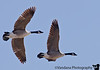 March 3, 2009 - The geese pair