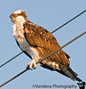 Jan 13, 2009 - Osprey on the wire