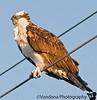 Jan 13, 2009 - Osprey on the wire