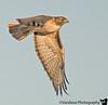 Feb 1, 2009 - Hawk in flight