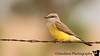 June 18, 2009 - The little Western kingbird at Ned Houk Park