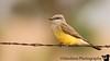 June 18, 2009 - The little Western kingbird at Ned Houk Park