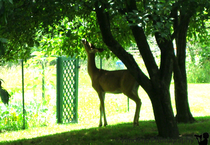 July 25, 2009 - Deer in our backyard !
