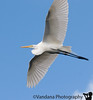 Jan 15, 2009 - Great egret flies overhead<br /> <br /> Photos from florida still being processed..busy after vacation :) and no time to shoot !
