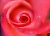 July 19, 2009 - The sensuality of a rose
