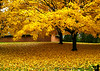 October 23, 2009 - Leaves of gold