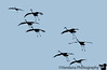 November 14, 2009 - Silhouette shots of sandhill cranes at Jasper-Pulaski Fish and Wildlife area, Indiana. <br /> Poor lighting for shots, but thousands of sandhill cranes, screaming as usual. l