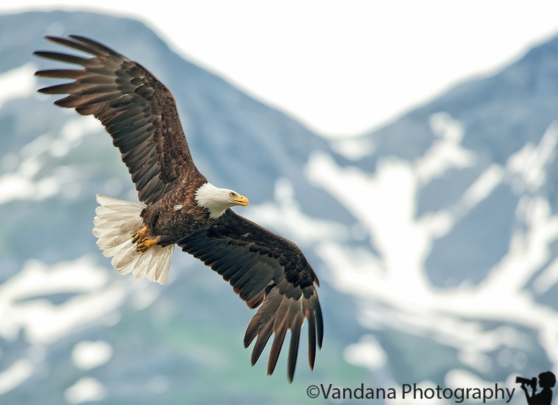 July 9, 2010 - Bald eagle in flight.<br /> <br /> We hiked the 5 mile Goat trail, starting at the base of Horsetail Falls and climbing rapidly to the base of a splendid water body. Lunch was had and plenty of photo-ops exploited. However, the highlight of the day was the stopover on the shores of Valdez  at the Solomon Gulch Fish Hatchery , frequented by bald eagles, juvenile bald eagles, and a ton of seagulls flying against the gorgeous backdrop of snow-crest mountains.