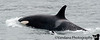 July 22, 2010 - Orca Attack ! <br /> saw a bunch of Orcas in a cruise to Columbia Glacier from Cordova, AK.. such graceful and fearsome creatures..<br /> still processing photos from AK, many more to go !