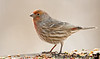 March 8, 2010 - House finch