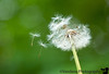 May 25, 2010 - Blow away Dandelion
