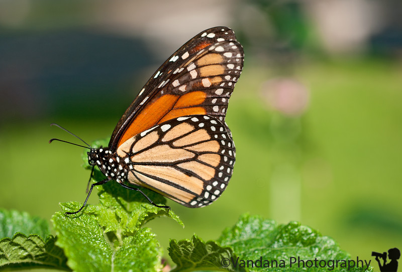 September 24, 2010 - the last of the butterflies ?!