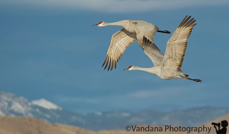 "January 18, 2010 - Sandhill cranes at Bosque del apache NWR, New Mexico.  More pics from Bosque <a href=""http://www.vandanaphotography.com/Birds/Bosque-Del-Apache-2010/10980251_ZtU4k"">here</a>"