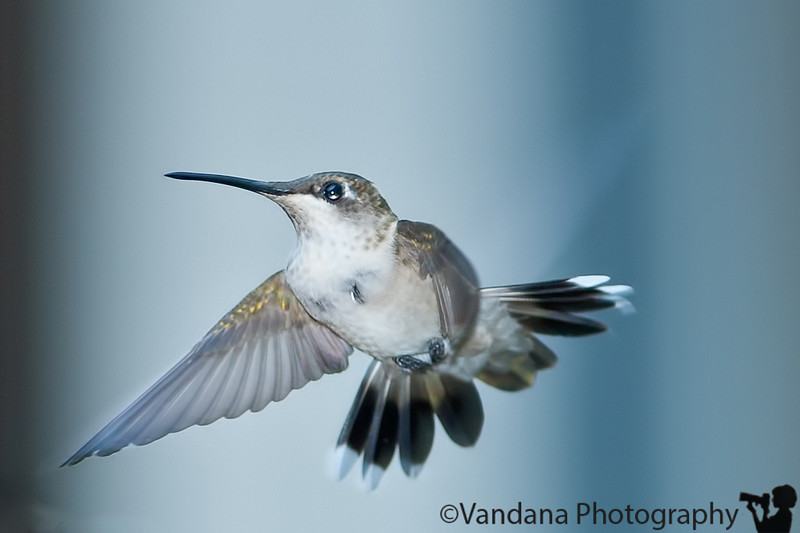 August 24, 2010 - Freezing those wings !<br /> <br /> still shooting hummingbirds when I can, using the SB800 flash now, no other way to freeze those fluttering wings..probably, you'll see a hummingbird every day till I get better :)