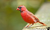 September 17, 2010 - red cardinal