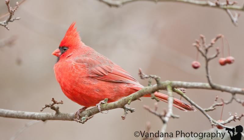 November 29, 2010 - a red cardinal in the backyard