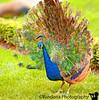 September 27, 2010 - the Peacock show