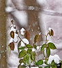 December 9, 2010 - a rose in the snow