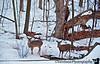 March 2, 2010 - Deer in the backyard
