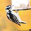 October 16, 2010 - Woodpecker at the feeder