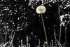 May 23, 2010 - lone dandelion