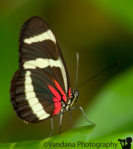 December 28, 2010 - Butterflies from Costa Rica ! More pics from Costa Rica trip added here
