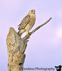 January 10, 2010 - red shouldered hawk<br /> <br /> from Florida trip, processed today. thanks Judith for the id !