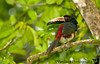 December 13, 2010 - Aracari Toucan in Tortuguero National Park, CR<br /> <br /> Was having a sparse breakfast at Holiday Inn when we were interrupted by a strange Tico asking our Chinese neighbors if they were the  Rahagopalans. Finally V volunteered to be a Rahagopalan for the day. We were told to eat fast & jump into the van, for two impatient Europeans were ready waiting already. So we did so. Our minivan started the 3 hour long drive, beginning with a glorious rainbow across the sky! The Europeans constantly hassled the poor Tico drivers Marcos & Carlos for all sorts of statistical minutaie such as the first tallest mountain, second tallest, third longest river etc etc. We drove through the transnational plantation towns of Del Monte where bananas are farmed en masse by sheer manual labor. A single Tico pulls 250 bunches of bananas on a line tied to his chest! At the end of the potholed drive was a boatride about 2 hours long through the Caribbean backwaters to the famed eco lodge, Tortuga Lodge & gardens. The waters were quite rough & at the end of the boatride, we were confronted by 5 shady Ticos who grabbed our bags & forcibly made us eat lunch, which was a delicious salad & fish sticks. We were then given an orientation, rules & regulations, & escorted to our frooms. No TV. No AC. No internet. No fridge. No microwave. Just a simple rustic eco-lodge. At 6pm, we wore rubber boots & departed on a muddy trail through the swampy muck, when we spotted the Toucan high up in the branches.<br /> The trail was a lot of fun after the rubber boots filled up with water. We spotted a red tiny frog that K tried to mess with but was too jumpy & vanished in the undergrowth. Later we learnt it was poisonous ! We came back to a sumptuous dinner, dessert & complimentary wine! Lulled to sleep amidst a rainstorm.