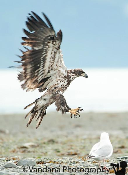 "August 6, 2010 - Juvenile bald eagle strikes   from Alaska ! More pics from alaska trip coming up <a href=""http://www.vandanaphotography.com/Travel/Alaska/Alaska-Travel-Journal-2010/12980831_DTN3v"">here</a>"